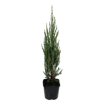 Juniperus virginiana 'Blue Arrow'