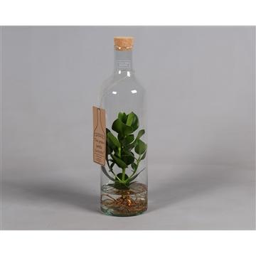 Green Bottle® met Calusia