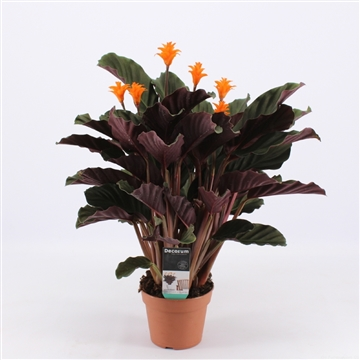 Calathea Crocata Candela 5/6 DECORUM