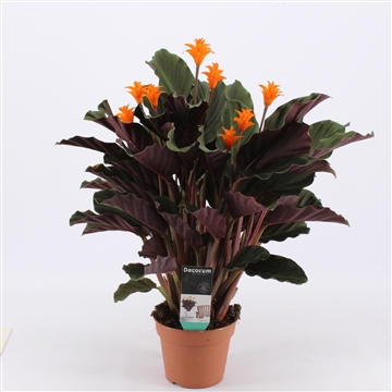 Calathea Crocata Candela 7/8 DECORUM