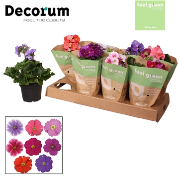 Primula 'Touch Me' mix zonder wit Feel Green