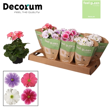 Primula 'Touch Me' mix 4x2 licht Feel Green