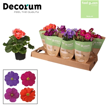 Primula 'Touch Me' mix 4x2 donker Feel Green