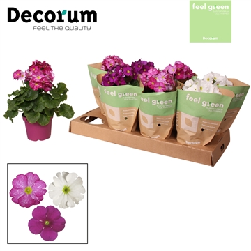 Primula 'Touch Me' Xclusive mix Feel Green