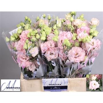 Lisianthus Alissa light pink 60 cm