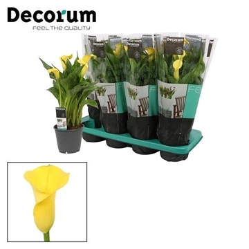 Zantedeschia Gold Crown (Decorum)