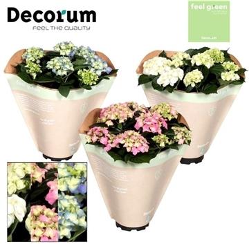 Hydrangea gemengd 10 flowers Feel Green (Decorum)
