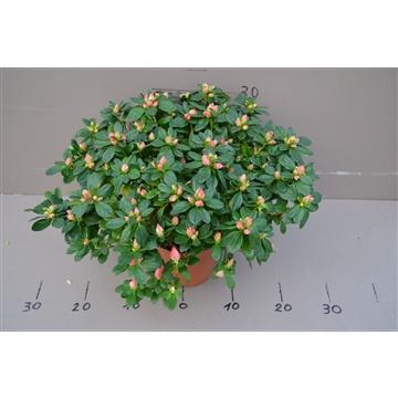 Gentse azalea Luntera pot 17