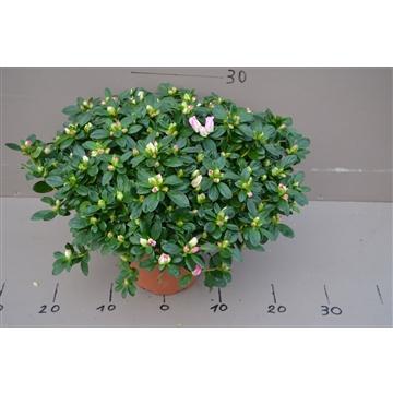 Gentse azalea Hulsten pot 17