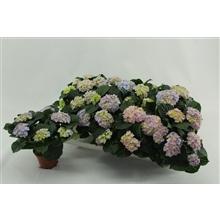 Hydrangea macr. 10cm Felina Blauw 3+ bloem