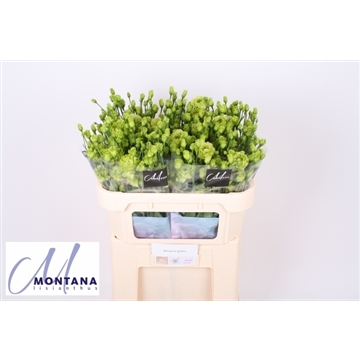 Lisianthus Rosanne green