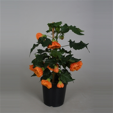 Abutilon oranje