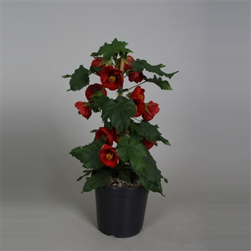 Abutilon rood