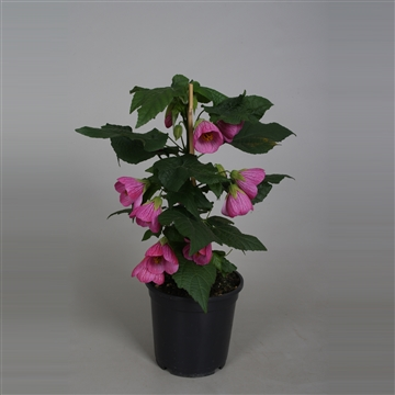 Abutilon roze