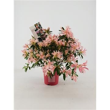 Rhododendron Azalea Pink Spider 15 cm
