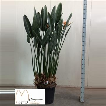 Strelitzia reginae 200 5+