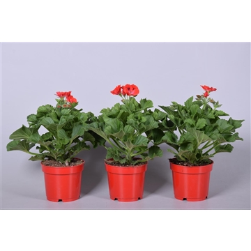 Pelargonium Grandiflorum ''Rosanna'' (licht geurend)