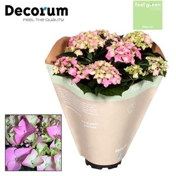 Hydrangea Pink 10 flowers Feel Green (Decorum)