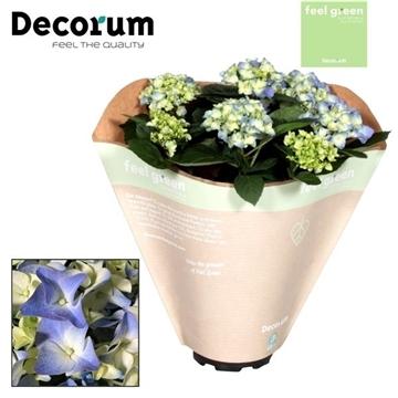 Hydrangea Blue 10 flowers Feel Green (Decorum)