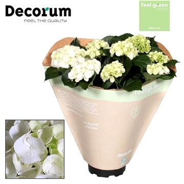 Hydrangea White 10 flowers Feel Green (Decorum)