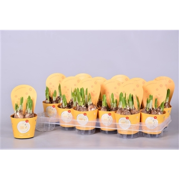 MoreLIPS® Narcis 'Tete a tete'  in gele luxe potcover