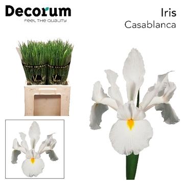 IRIS CASABLANCA