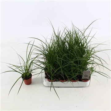 Carex brunnea (Groen)