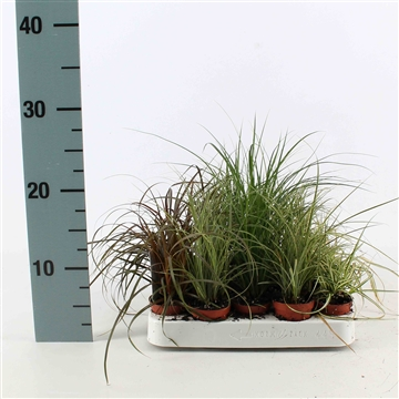 Carex mix