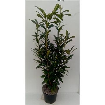 Prunus lauroc. 'Genolia' ® Mariblon
