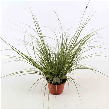Carex brunnea 'Jubilo'