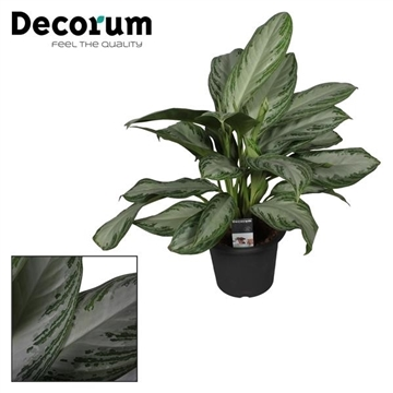 Aglaonema Silver Bay in deco pot (Decorum)