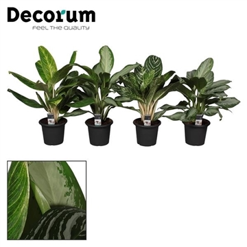 Aglaonema gemengd in deco pot (Decorum)