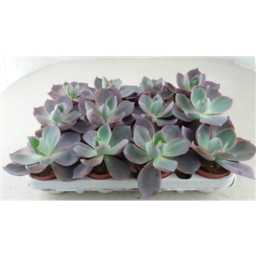 Echeveria After Glow PT