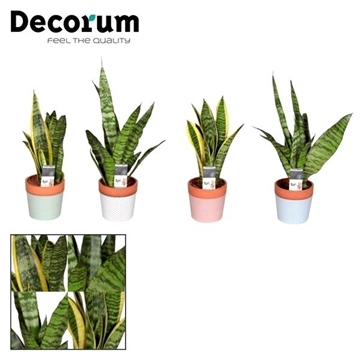 Sansevieria  Black Coral 7 cm in pot Charlie (Decorum)