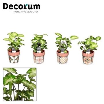 Syngonium Pixie 7 cm in pot Jasmine (Decorum)