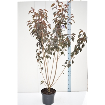 Prunus serrulata 'Royal Burgundy''
