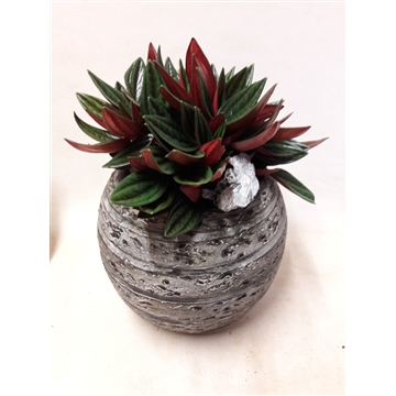 RB3CEP Bolpot darkgrey Peperomia Rosso