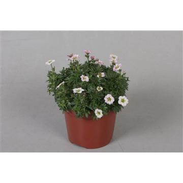 Saxifraga Rose