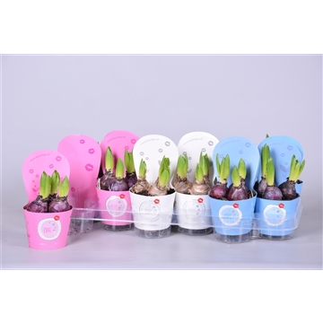 MoreLIPS® Hyacinthus gemengd in luxe potcover