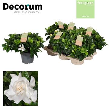 Feel Green Gardenia Jasminoides 13 cm