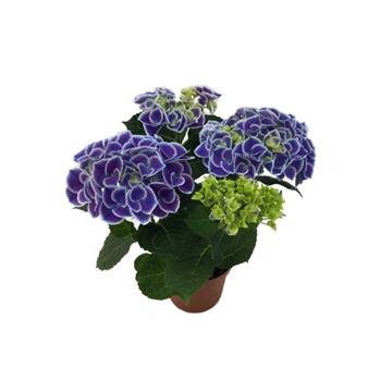 Hortensia Hydrangea Macrophylla Tivoli Blue 3-4