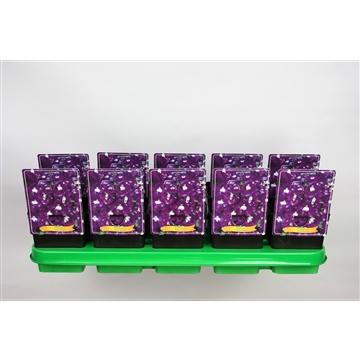 Delphinium Elatum Grp 'Aurora Deep Purple' P11