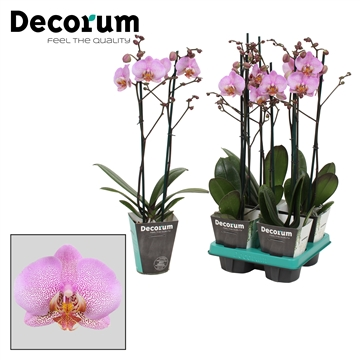Phalaenopsis 2-Tak Formation 60cm R2-3
