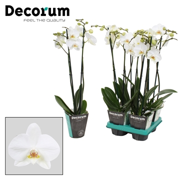 Phalaenopsis 2-Tak Vivion 60 R2-3