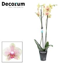 Phalaenopsis 2-Tak Pulsation 60cm R2-3