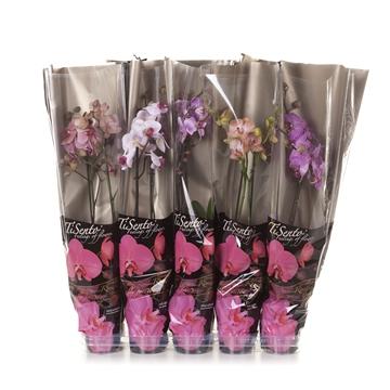 Tisento phalaenopsis 12cm roze mix zwarte hoes 2t 14+