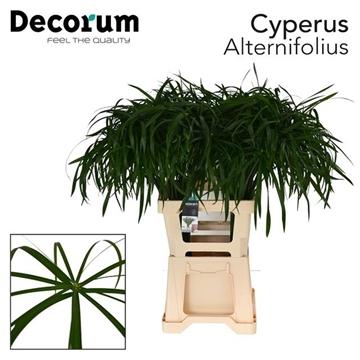 Cyperus Alternifolius 55cm dc