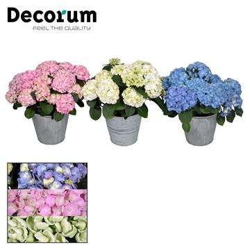 Hydrangea gemengd 10 flowers in Zink (Decorum)