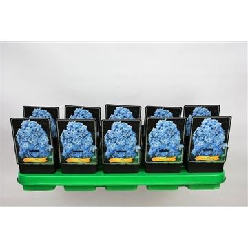 Phlox Paniculata Grp 'Blue Boy' P11