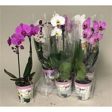 Phal cascade mix 1t6+ in potcover